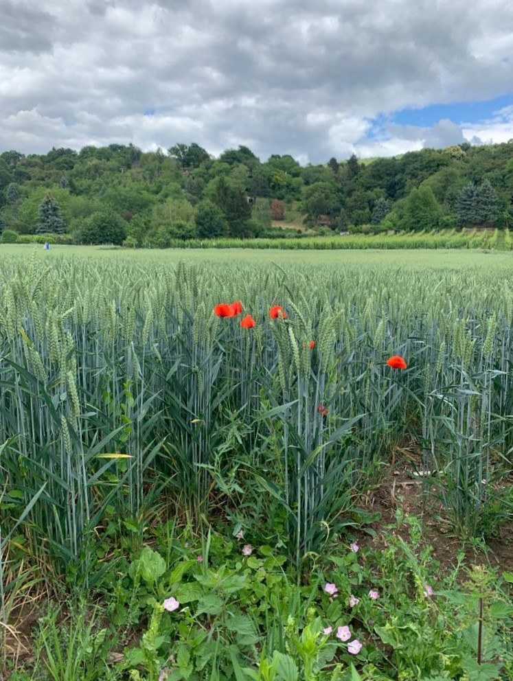 하이델베르크에서 차로 5분이면 도착하는 로바흐시의 광활한 밀밭과 포도밭