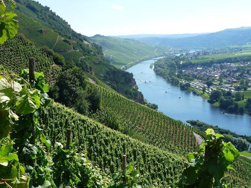 독일의 유명 와인산지 모젤Mosel 지역의 가파른 언덕 위에 빽빽히 들어선 포도밭